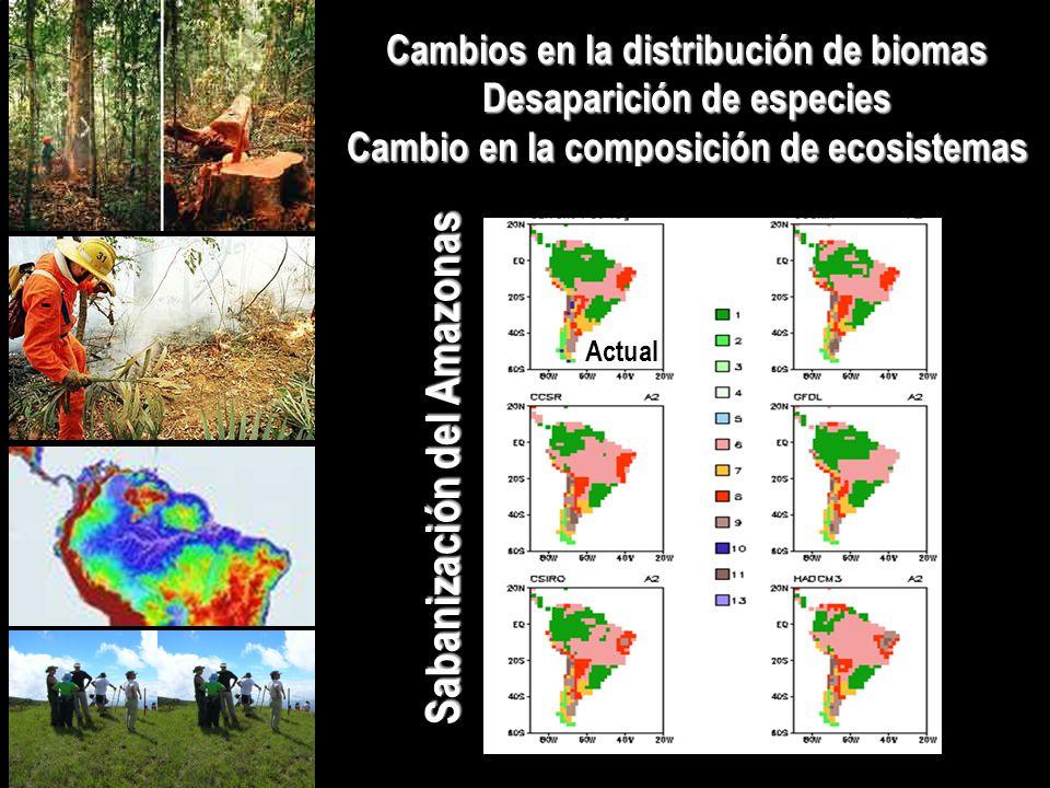 Cambios en la distribución de biomas Desaparición de especies Cambio en la composición de ecosistemas Sabanización del Amazonas Actual