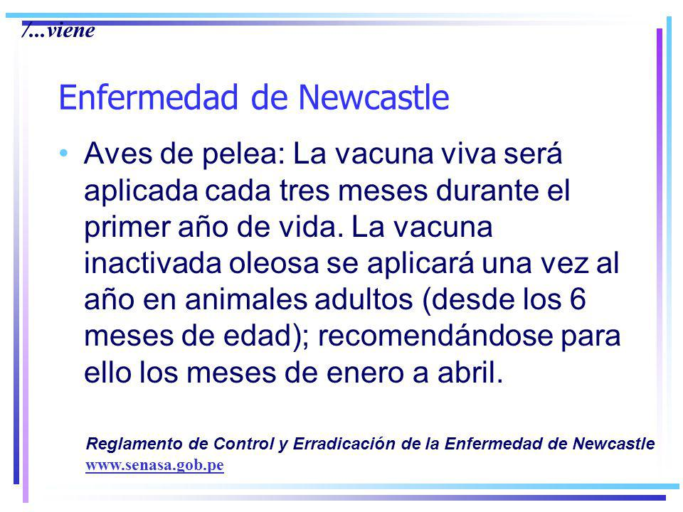 Enfermedad de Newcastle Aves de pelea: La vacuna viva será aplicada cada tres meses durante el primer año de vida.