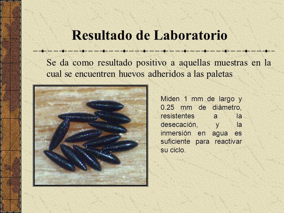 Resultado de Laboratorio Se da como resultado positivo a aquellas muestras en la cual se encuentren huevos adheridos a las paletas Miden 1 mm de largo
