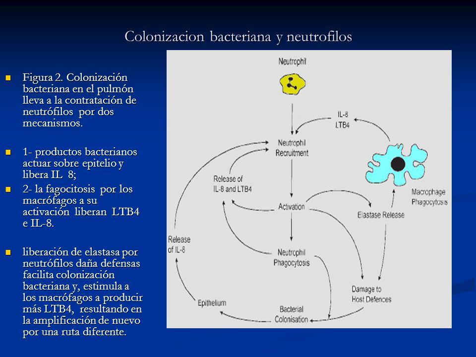 Colonizacion bacteriana y neutrofilos Figura 2. Colonización bacteriana en el pulmón lleva a la contratación de neutrófilos por dos mecanismos. Figura