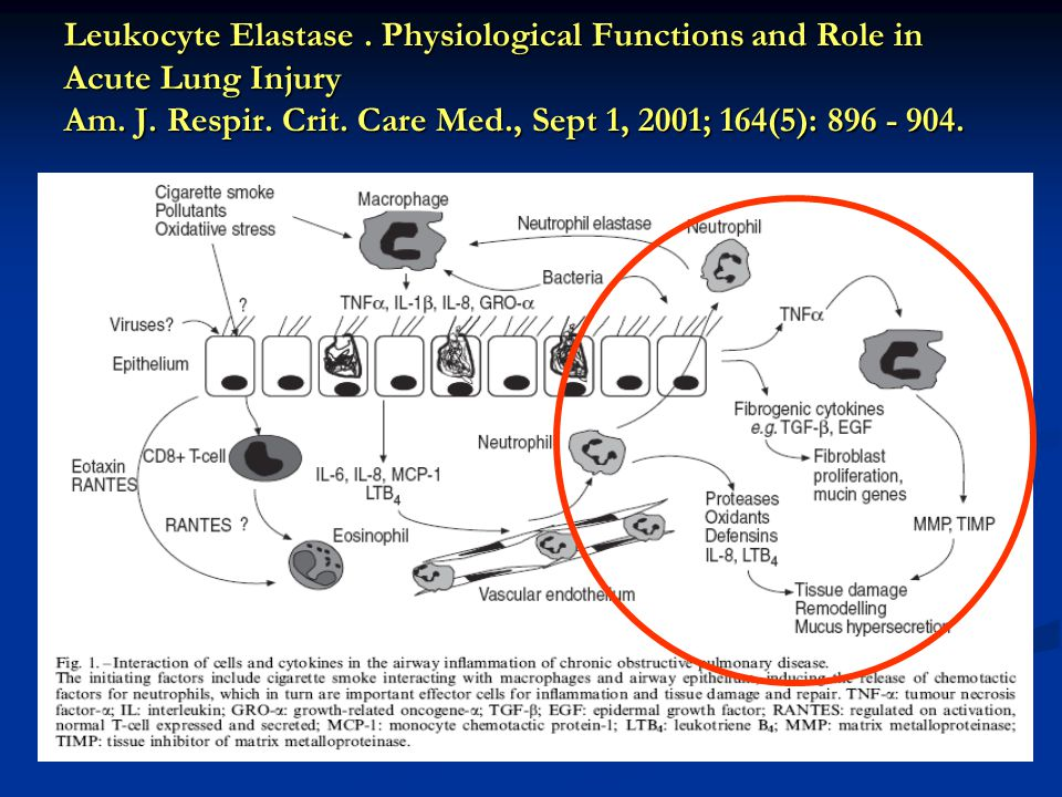 Leukocyte Elastase. Physiological Functions and Role in Acute Lung Injury Am. J. Respir. Crit. Care Med., Sept 1, 2001; 164(5): 896 - 904.