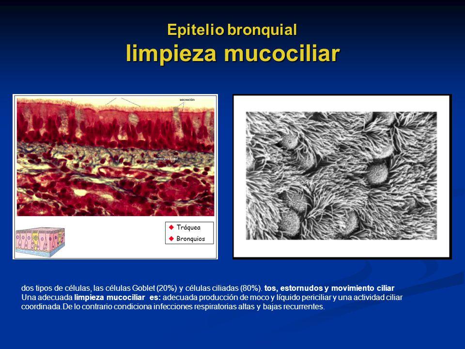 Epitelio bronquial limpieza mucociliar dos tipos de células, las células Goblet (20%) y células ciliadas (80%). tos, estornudos y movimiento ciliar Un