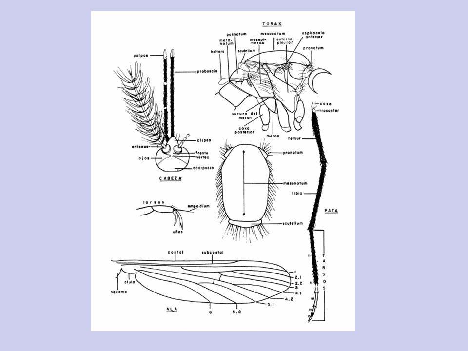 Rhodnius sp Panstrongylus sp Triatoma sp