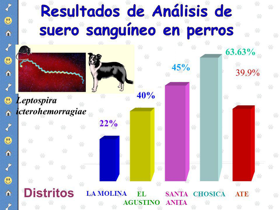 45% 22% LA MOLINA SANTA ANITA 40% EL AGUSTINO Distritos 63.63% 39.9% CHOSICAATE Leptospira icterohemorragiae