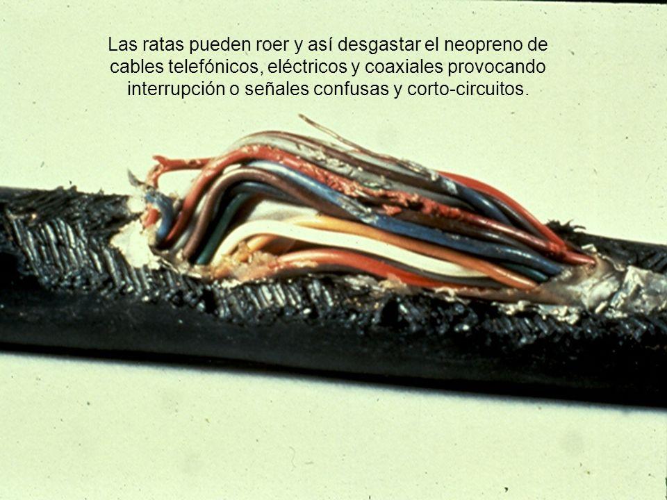 Las ratas pueden roer y así desgastar el neopreno de cables telefónicos, eléctricos y coaxiales provocando interrupción o señales confusas y corto-cir