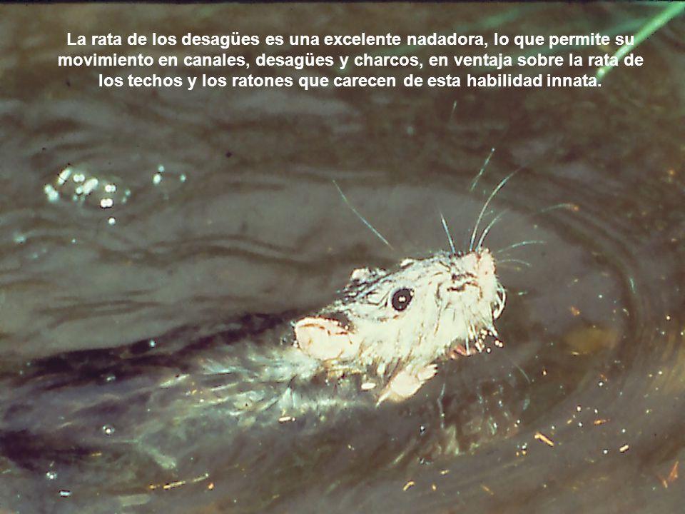 La rata de los desagües es una excelente nadadora, lo que permite su movimiento en canales, desagües y charcos, en ventaja sobre la rata de los techos
