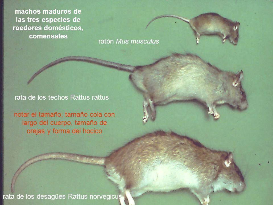 machos maduros de las tres especies de roedores domésticos, comensales ratón Mus musculus rata de los techos Rattus rattus rata de los desagües Rattus