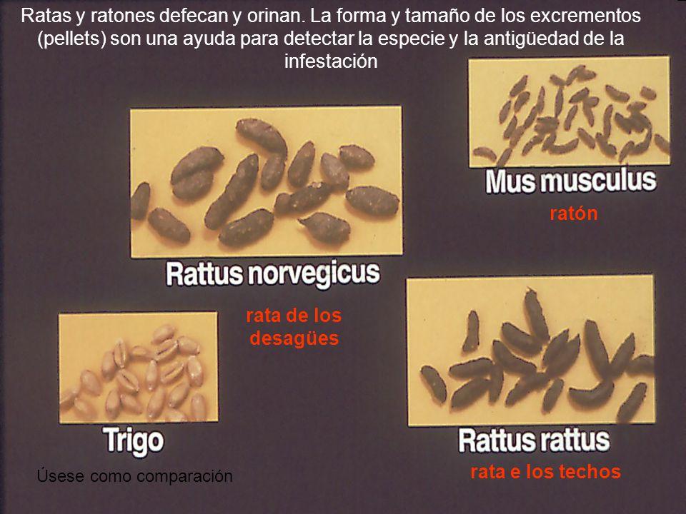 ratón rata de los desagües rata e los techos Ratas y ratones defecan y orinan. La forma y tamaño de los excrementos (pellets) son una ayuda para detec