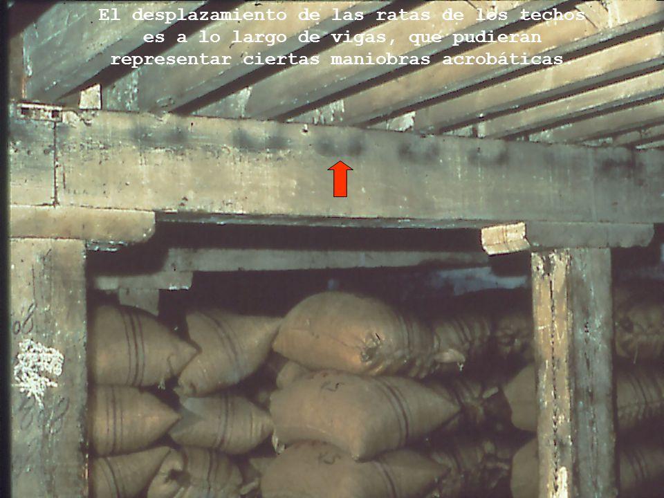 El desplazamiento de las ratas de los techos es a lo largo de vigas, que pudieran representar ciertas maniobras acrobáticas.