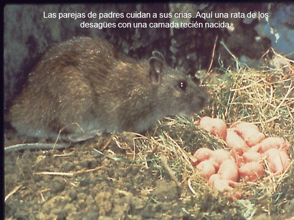Las parejas de padres cuidan a sus crias. Aquí una rata de los desagües con una camada recién nacida.