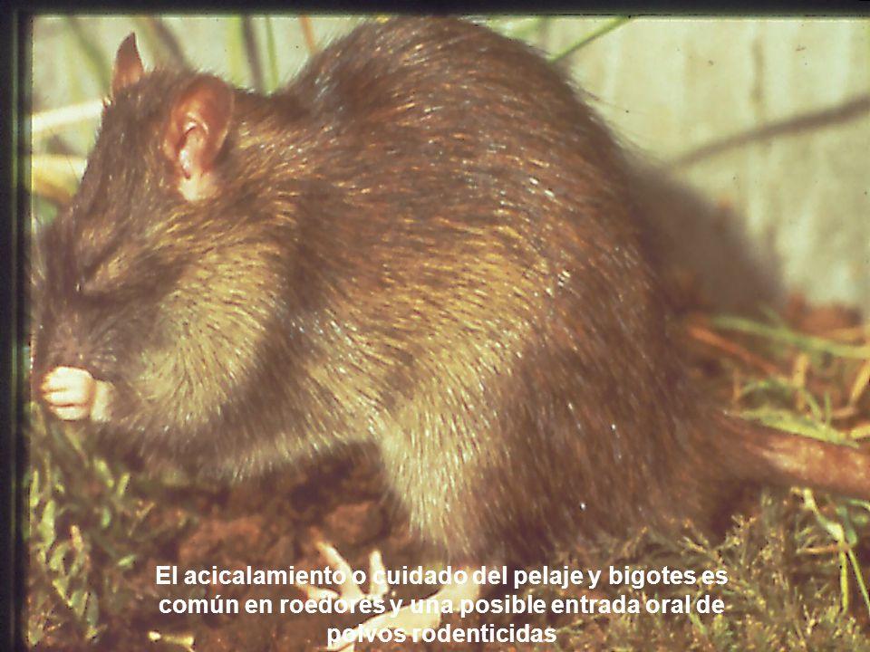 El acicalamiento o cuidado del pelaje y bigotes es común en roedores y una posible entrada oral de polvos rodenticidas