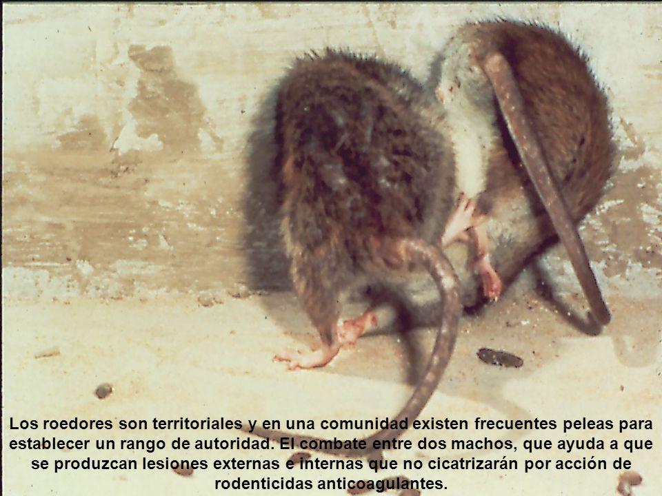 Los roedores son territoriales y en una comunidad existen frecuentes peleas para establecer un rango de autoridad. El combate entre dos machos, que ay