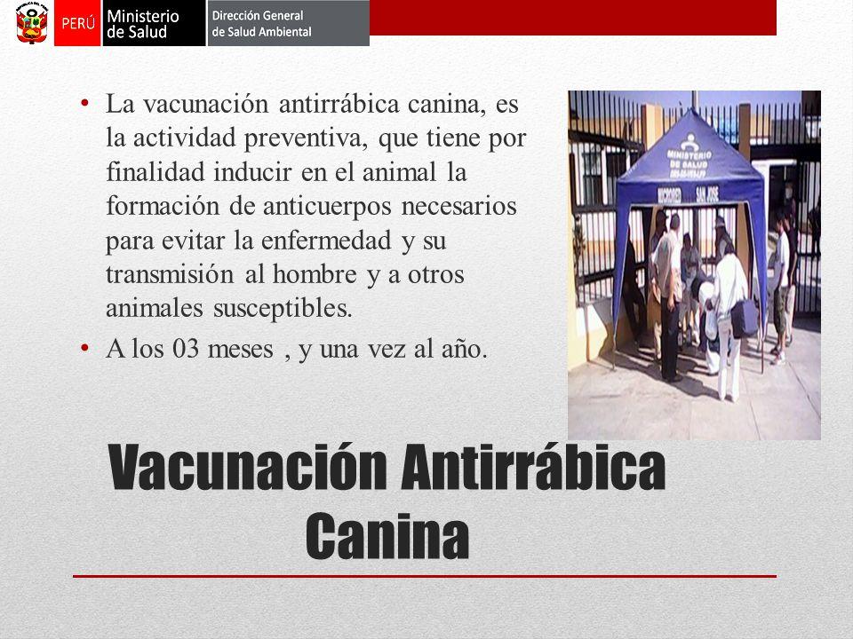 Vacunación Antirrábica Canina La vacunación antirrábica canina, es la actividad preventiva, que tiene por finalidad inducir en el animal la formación de anticuerpos necesarios para evitar la enfermedad y su transmisión al hombre y a otros animales susceptibles.