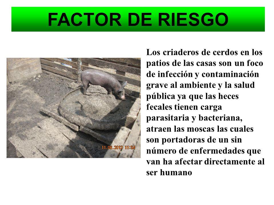 FACTOR DE RIESGO Los cerdos contaminan el ambiente con toneladas de residuos o purines, que contaminan 100 veces mas que las aguas residuales urbanas.