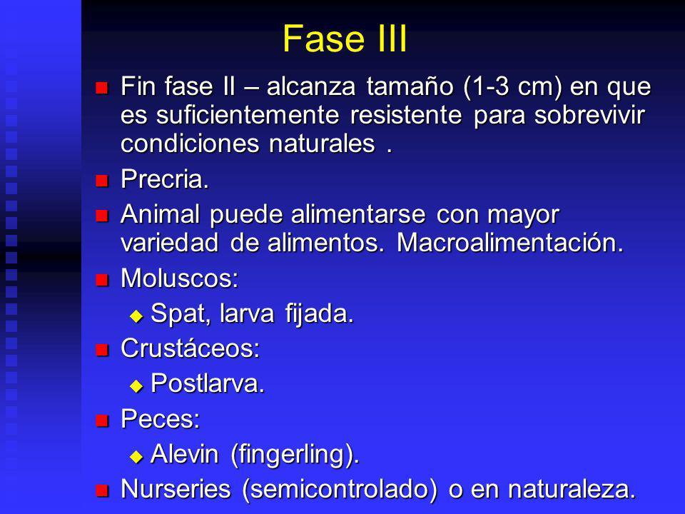 Fase III Fin fase II – alcanza tamaño (1-3 cm) en que es suficientemente resistente para sobrevivir condiciones naturales.