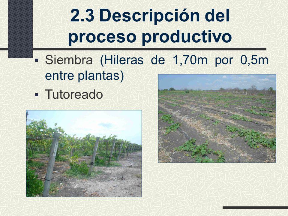 2.3Descripción del proceso productivo Siembra (Hileras de 1,70m por 0,5m entre plantas) Tutoreado
