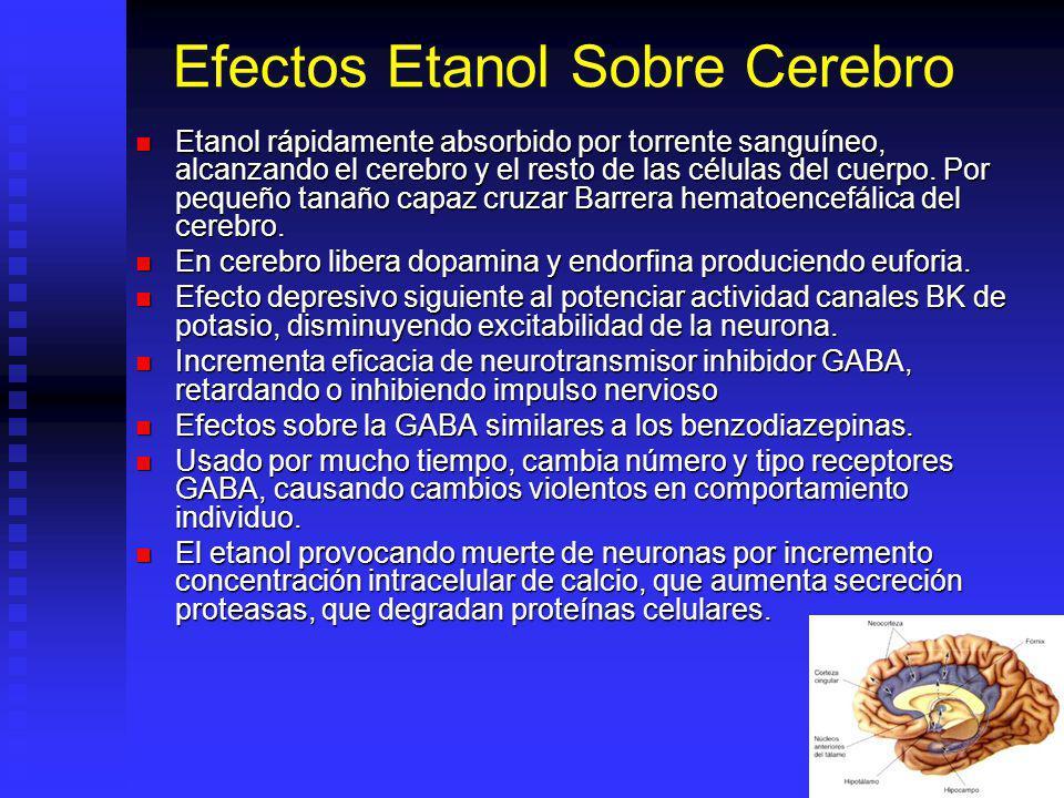 Efectos Etanol Sobre Cerebro Etanol rápidamente absorbido por torrente sanguíneo, alcanzando el cerebro y el resto de las células del cuerpo. Por pequ