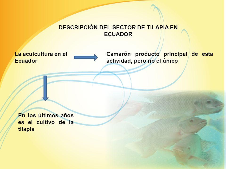 DESCRIPCIÓN DEL SECTOR DE TILAPIA EN ECUADOR La acuicultura en el Ecuador Camarón producto principal de esta actividad, pero no el único En los últimos años es el cultivo de la tilapia