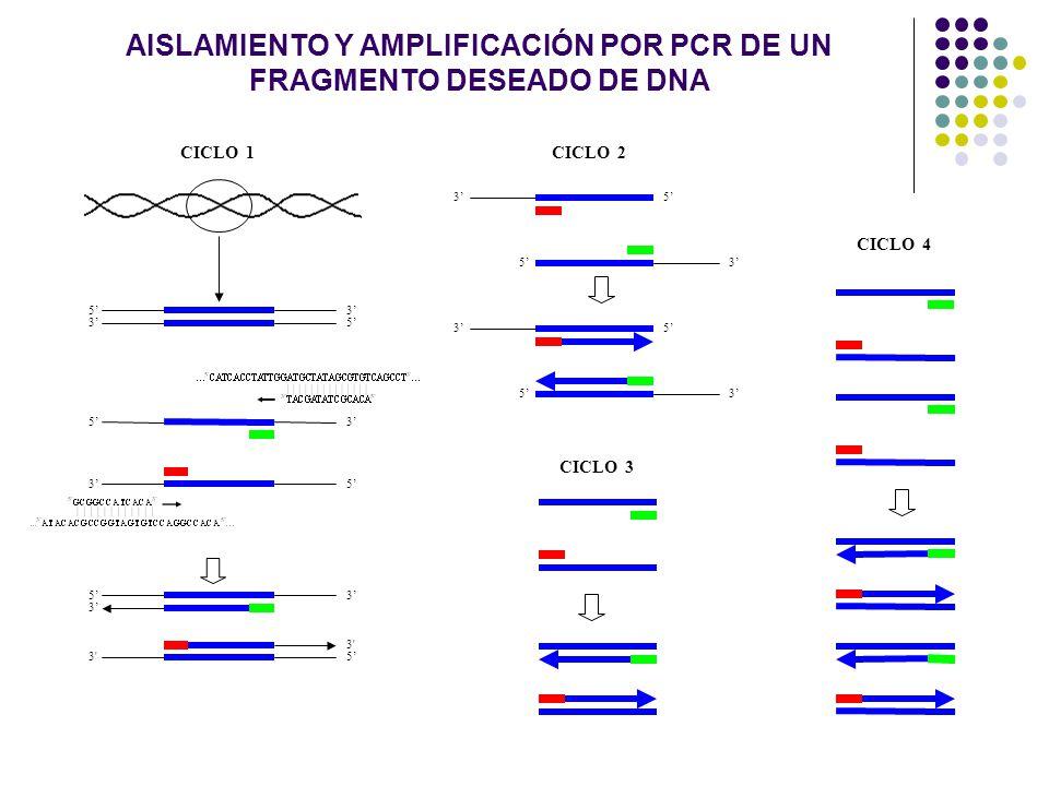 35 35 53 35 5 3 3 3' 5 CICLO 1CICLO 2 35 53 53 53 CICLO 3 CICLO 4 AISLAMIENTO Y AMPLIFICACIÓN POR PCR DE UN FRAGMENTO DESEADO DE DNA