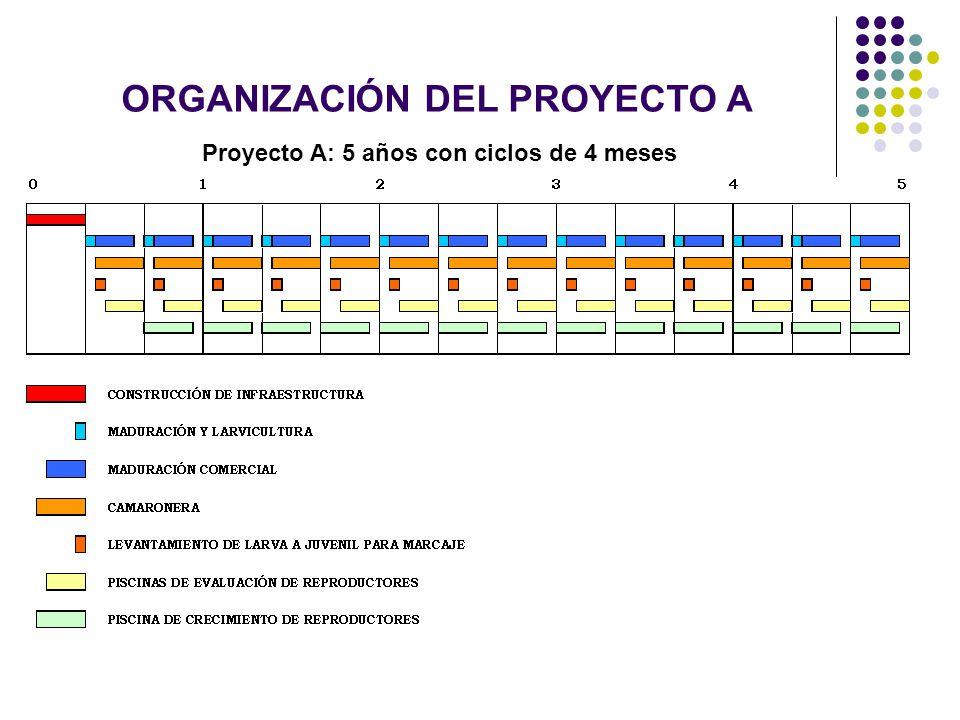 ORGANIZACIÓN DEL PROYECTO A Proyecto A: 5 años con ciclos de 4 meses
