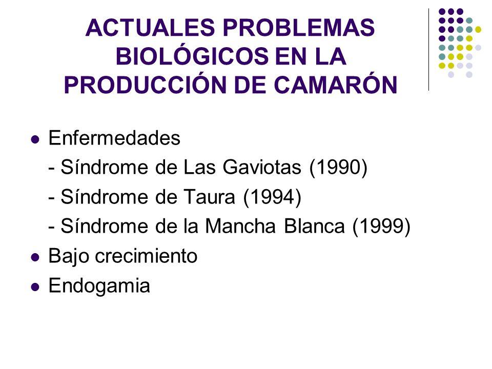 ACTUALES PROBLEMAS BIOLÓGICOS EN LA PRODUCCIÓN DE CAMARÓN Enfermedades - Síndrome de Las Gaviotas (1990) - Síndrome de Taura (1994) - Síndrome de la M