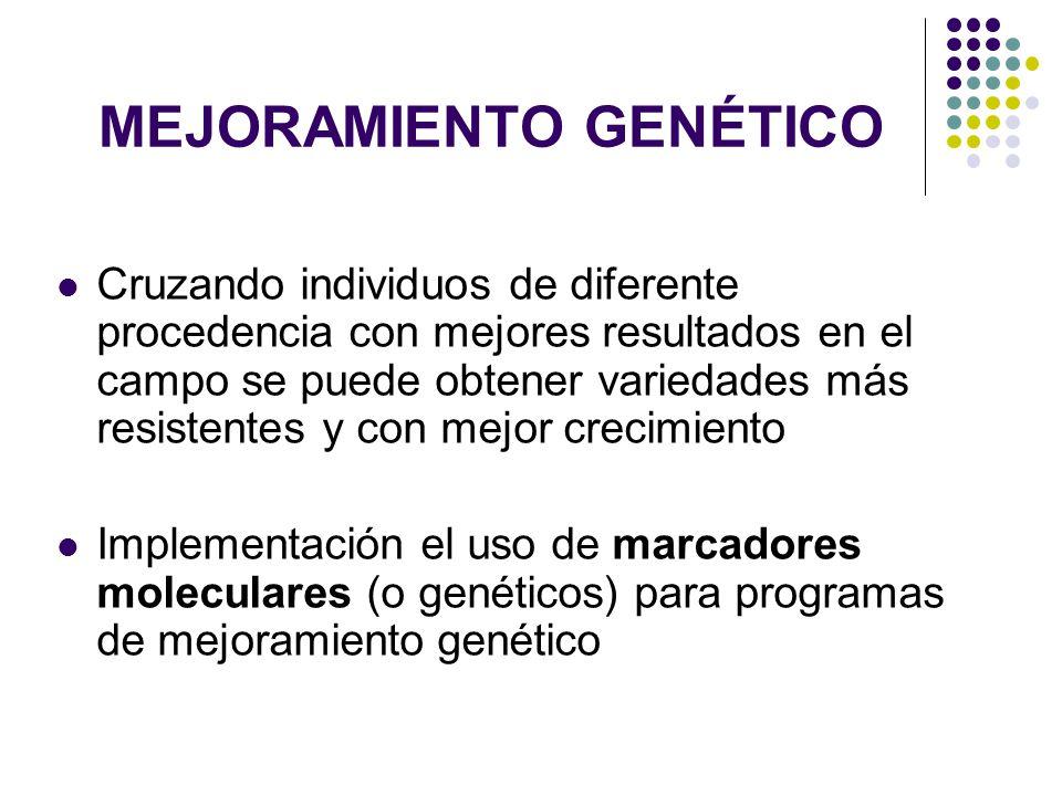 VARIABILIDAD GENÉTICA Cuando la Ho es menor que la He se debe a una alta consanguinidad (muchos homocigotos) o incidencia de alelos nulos Caso los loci CN-84; CN-135; CN-142; CN-148; CN-159 Cuando la Ho es mayor que la He se debe a un exceso de heterocigotos por a las cruzas dirigidas y no al azar Caso del locus CN-54