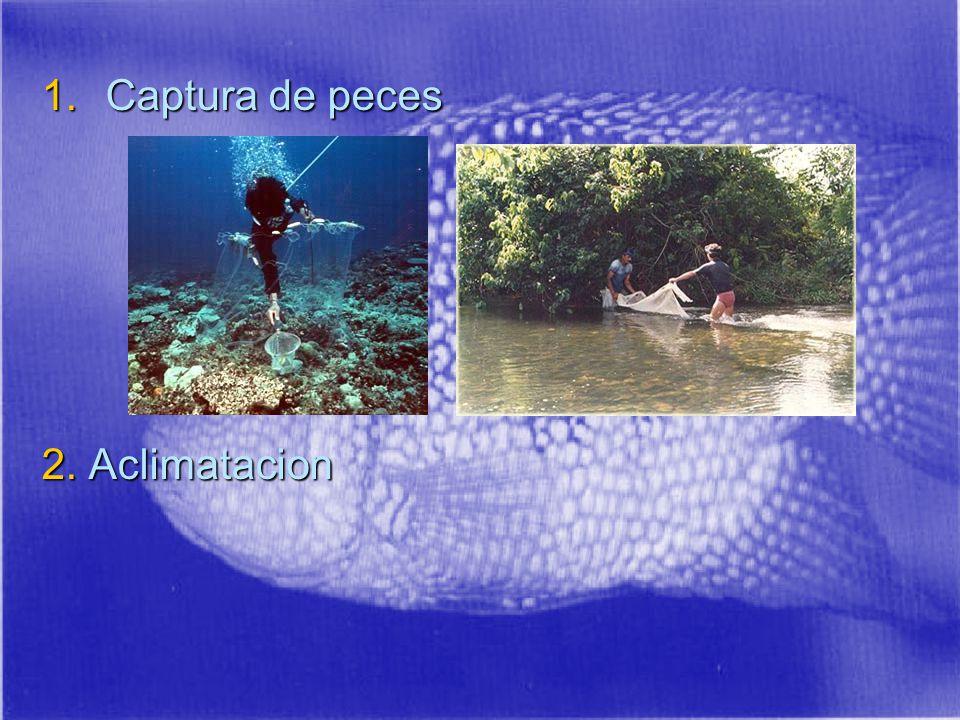 1.Captura de peces 2. Aclimatacion