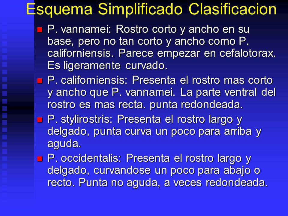 Esquema Simplificado Clasificacion P. vannamei: Rostro corto y ancho en su base, pero no tan corto y ancho como P. californiensis. Parece empezar en c