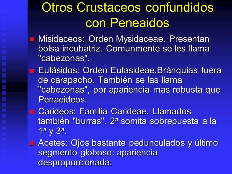 Otros Crustaceos confundidos con Peneaidos Misidaceos: Orden Mysidaceae. Presentan bolsa incubatriz. Comunmente se les llama