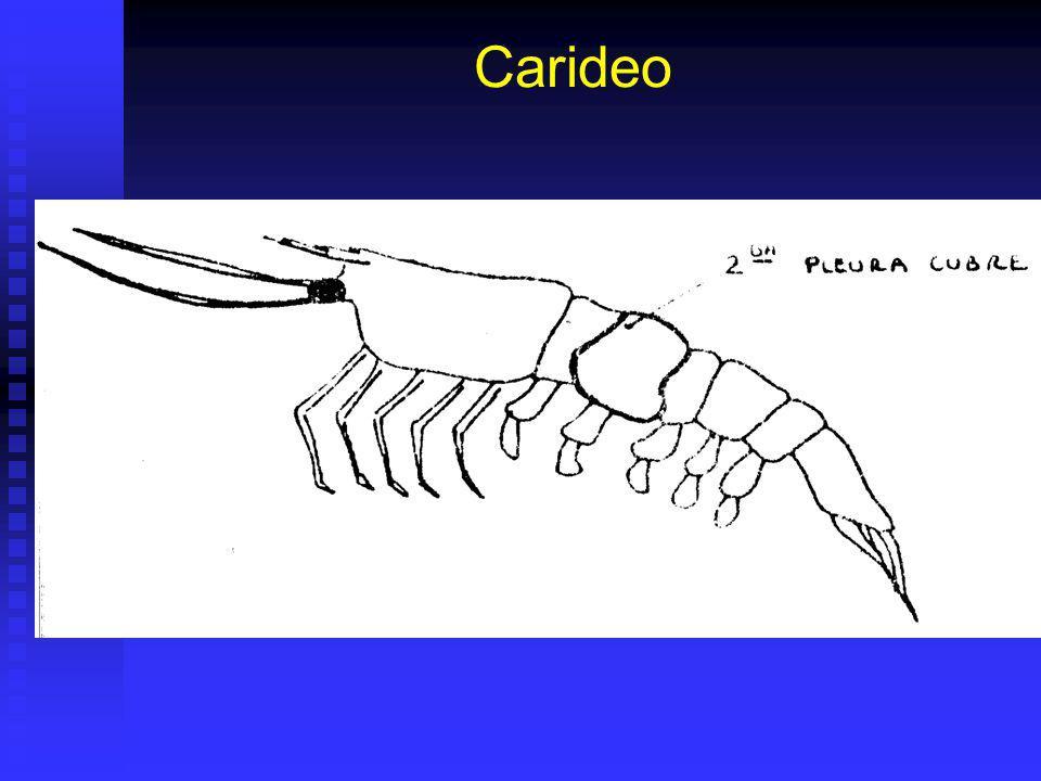 Carideo
