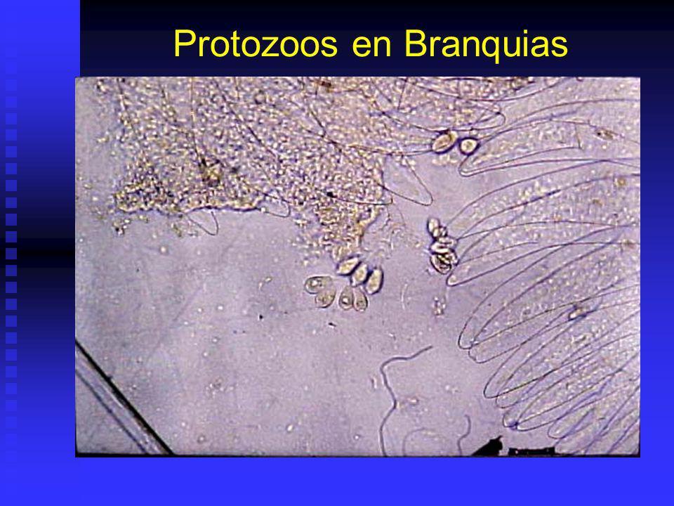 Protozoos en Branquias