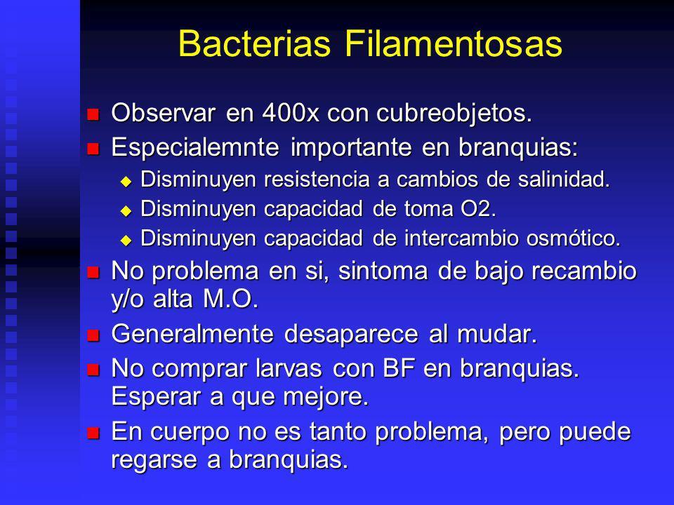 Bacterias Filamentosas Observar en 400x con cubreobjetos. Observar en 400x con cubreobjetos. Especialemnte importante en branquias: Especialemnte impo