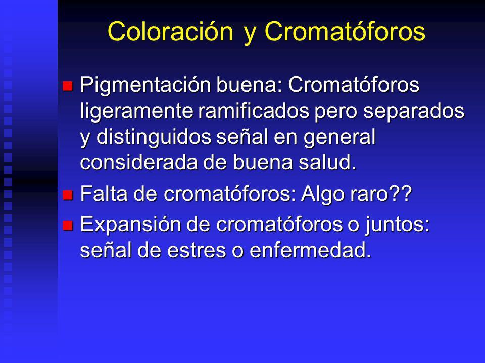 Coloración y Cromatóforos Pigmentación buena: Cromatóforos ligeramente ramificados pero separados y distinguidos señal en general considerada de buena