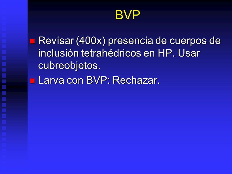 BVP Revisar (400x) presencia de cuerpos de inclusión tetrahédricos en HP. Usar cubreobjetos. Revisar (400x) presencia de cuerpos de inclusión tetrahéd