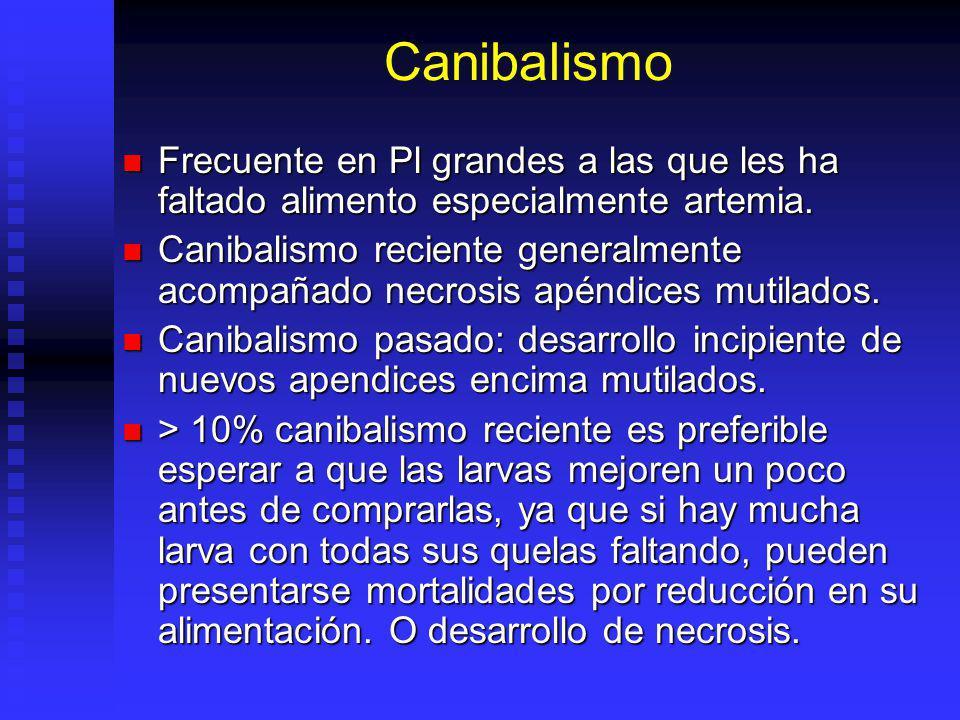 Canibalismo Frecuente en Pl grandes a las que les ha faltado alimento especialmente artemia. Frecuente en Pl grandes a las que les ha faltado alimento