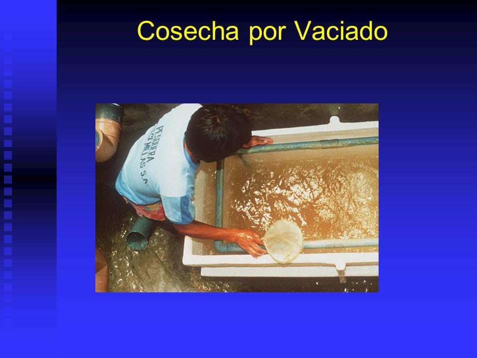 Captura Larva Silvestre Pesca puesta pequeñas tinas para limpiarla: Pesca puesta pequeñas tinas para limpiarla: Pasar por malla mayor tamaño sacar larva y basura grande.