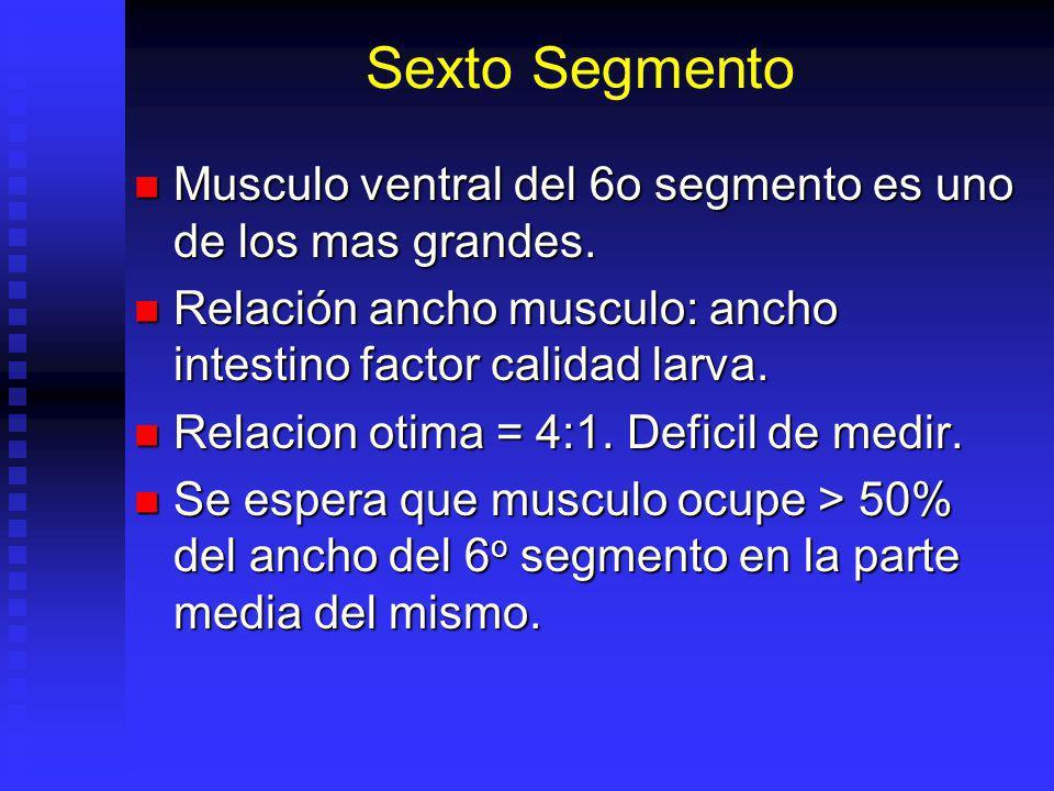Sexto Segmento Musculo ventral del 6o segmento es uno de los mas grandes. Musculo ventral del 6o segmento es uno de los mas grandes. Relación ancho mu