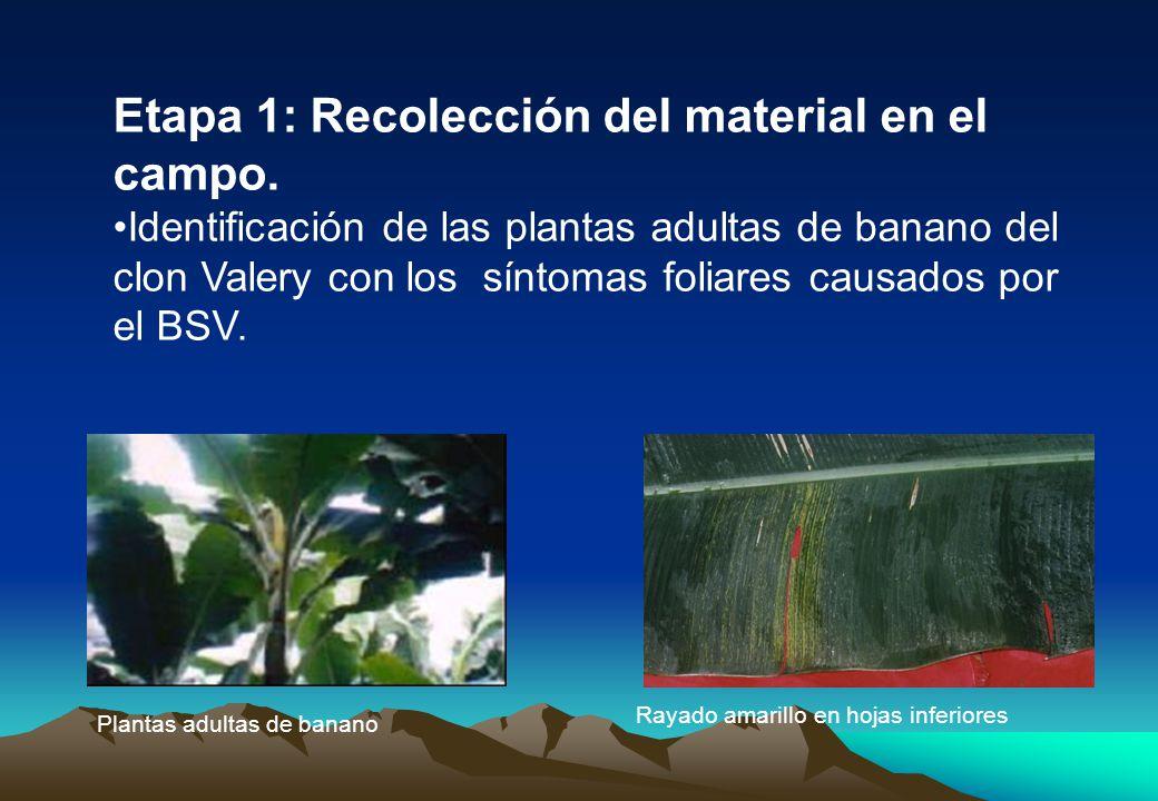 Plantas adultas de banano Rayado amarillo en hojas inferiores Etapa 1: Recolección del material en el campo.
