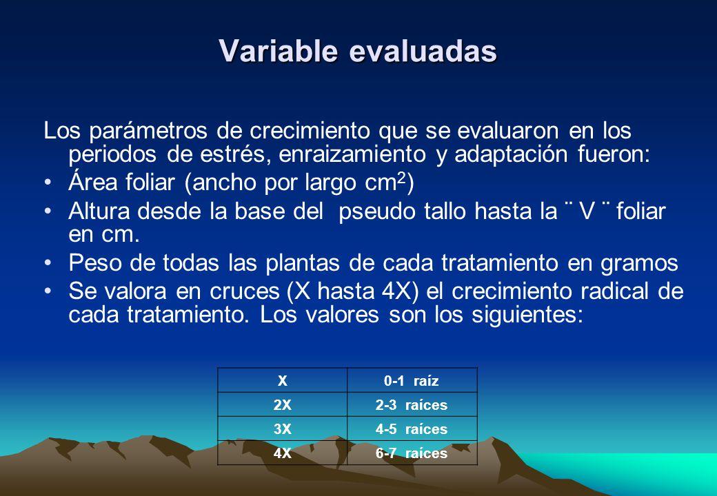 Variable evaluadas Los parámetros de crecimiento que se evaluaron en los periodos de estrés, enraizamiento y adaptación fueron: Área foliar (ancho por largo cm 2 ) Altura desde la base del pseudo tallo hasta la ¨ V ¨ foliar en cm.
