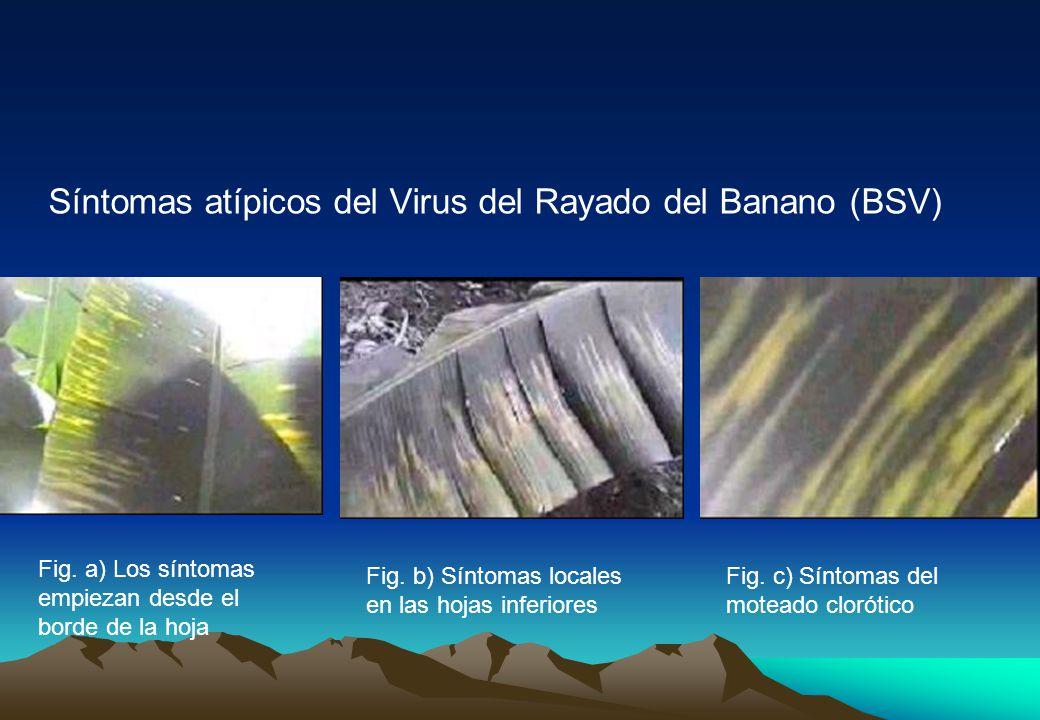 Síntomas atípicos del Virus del Rayado del Banano (BSV) Fig.