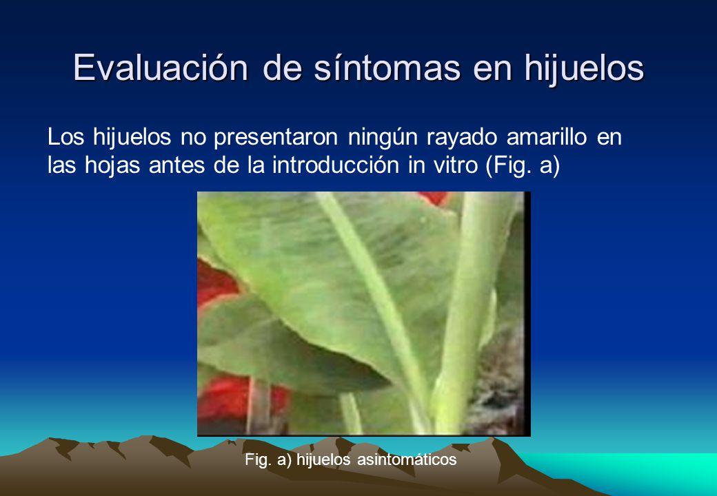 Evaluación de síntomas en hijuelos Los hijuelos no presentaron ningún rayado amarillo en las hojas antes de la introducción in vitro (Fig.