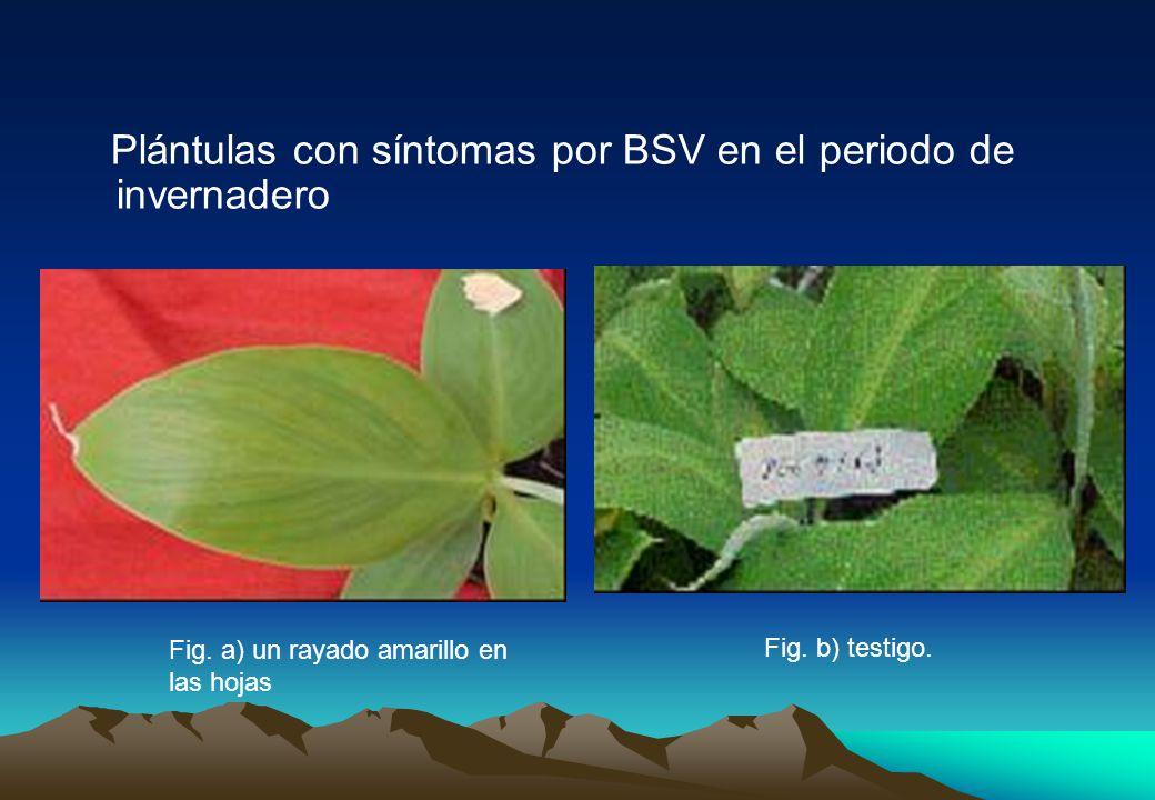 Plántulas con síntomas por BSV en el periodo de invernadero Fig.