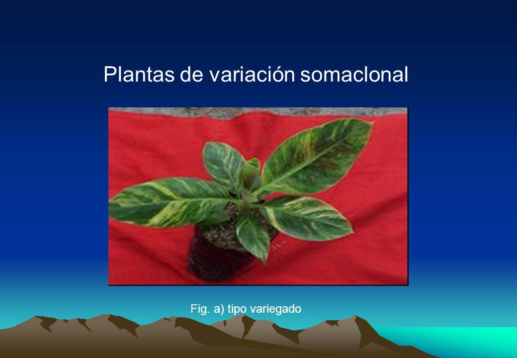 Plantas de variación somaclonal Fig. a) tipo variegado