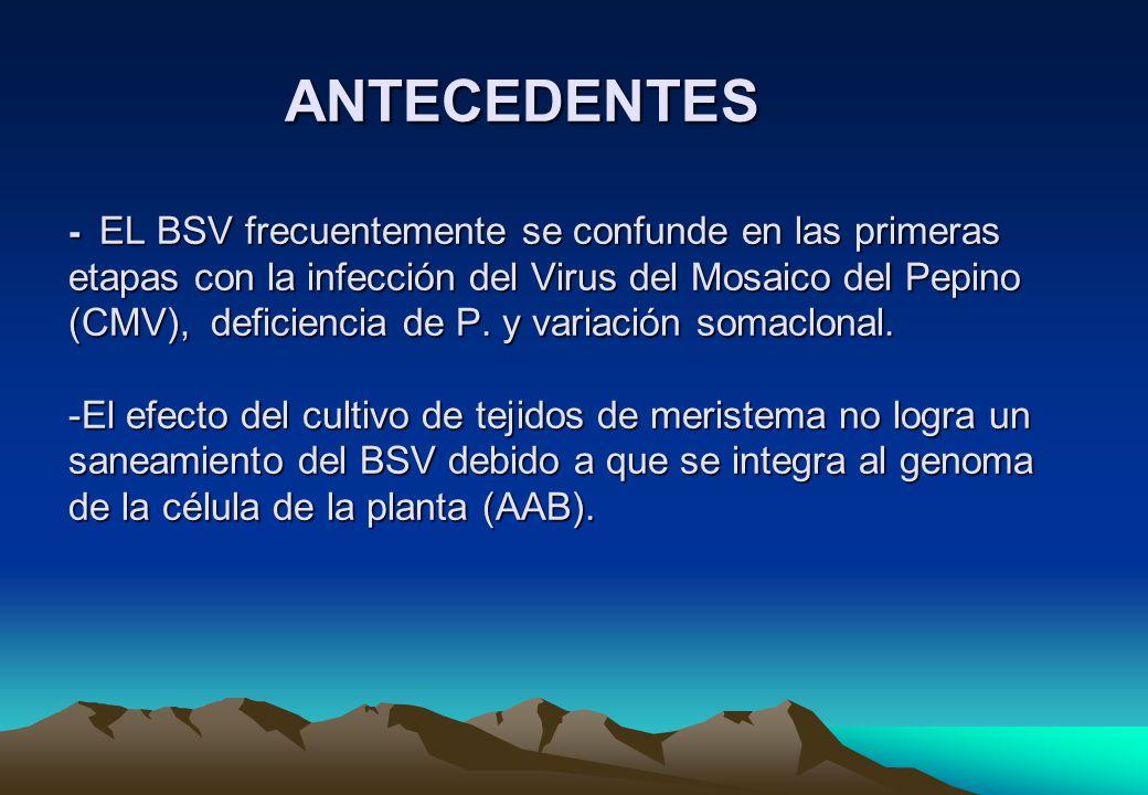 RECOMENDACIONES Difundir en la práctica agrícola bananera los síntomas descritos en este trabajo que permiten diferenciar el BSV de otras enfermedades.