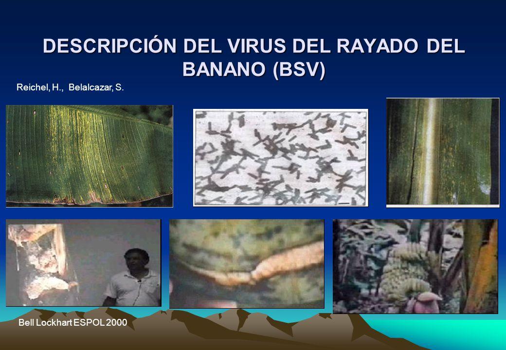 DESCRIPCIÓN DEL VIRUS DEL RAYADO DEL BANANO (BSV) Reichel, H., Belalcazar, S.