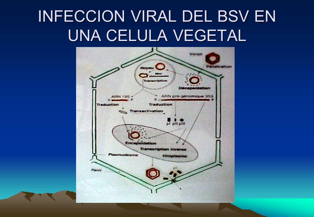 Tratamientos correspondientes a la investigación Medios de cultivos T E M P E R A T U R A 7 18º C 26º C 18° C a 34º C EnfermasSanasEnfermasSanasEnfermasSanas 1.