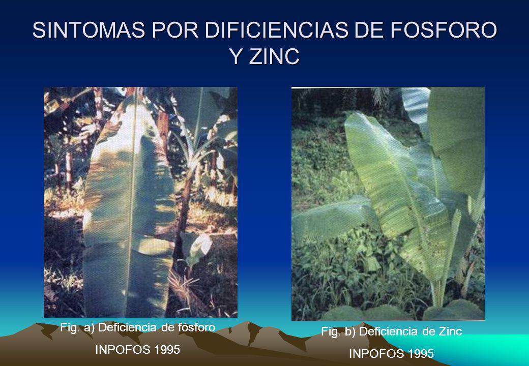 SINTOMAS POR DIFICIENCIAS DE FOSFORO Y ZINC Fig.a) Deficiencia de fósforo INPOFOS 1995 Fig.