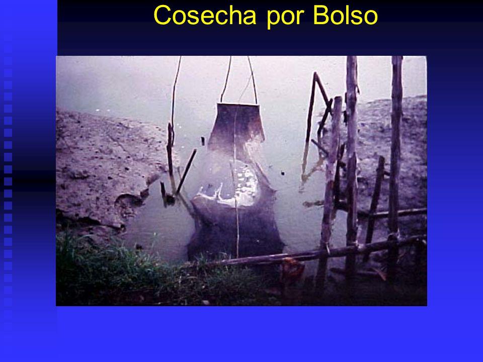 Problemas: Olor a Choclo Baja Salinidad: cianofitas en algunas piscinas. Baja Salinidad: cianofitas en algunas piscinas. Durante el ciclo es bueno: al