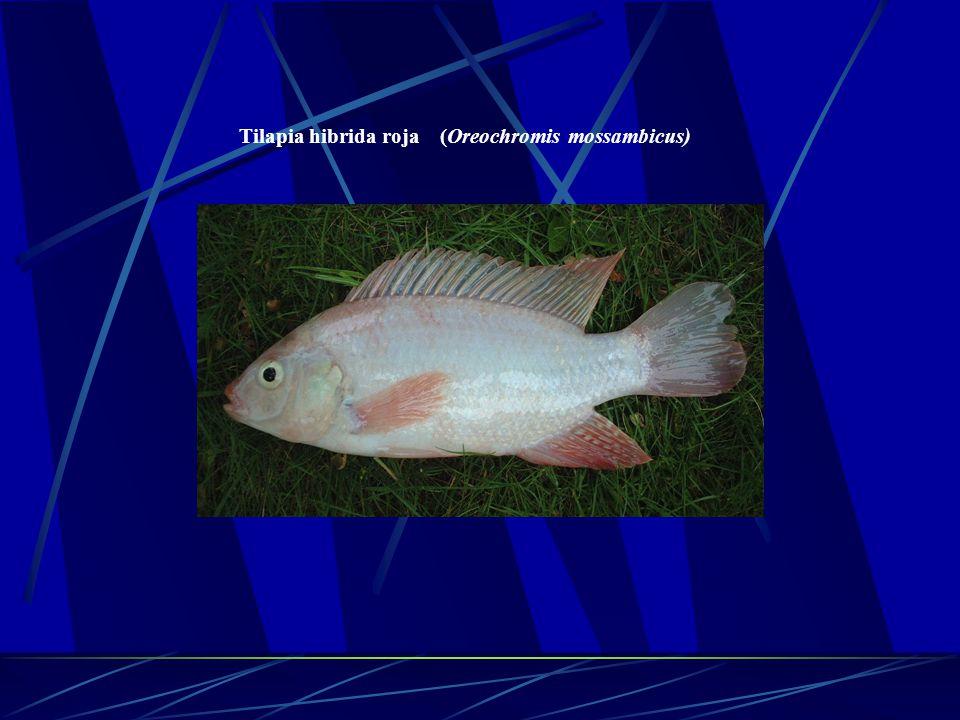 Tilapia hibrida roja (Oreochromis mossambicus)