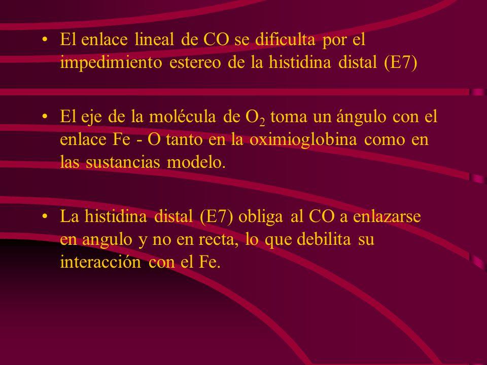 El enlace lineal de CO se dificulta por el impedimiento estereo de la histidina distal (E7) El eje de la molécula de O 2 toma un ángulo con el enlace
